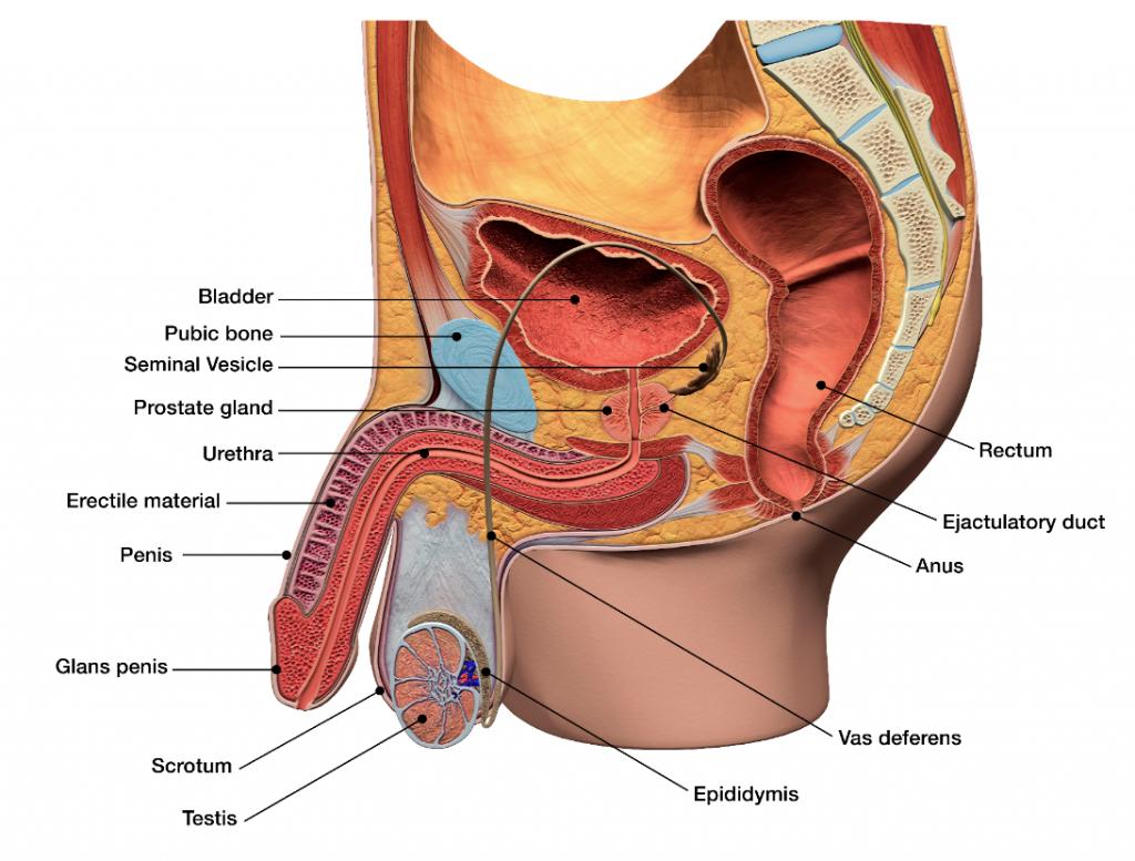 Uretra la barbat   Anatomie si fiziologie