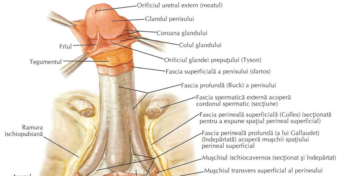 erecție și perineu