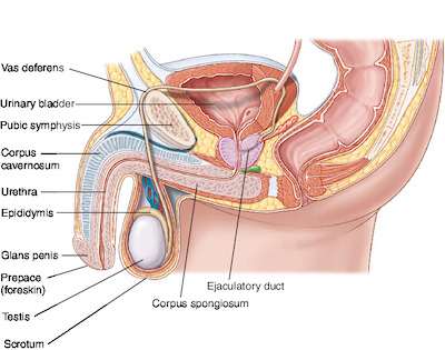 corp cavernos în penis)