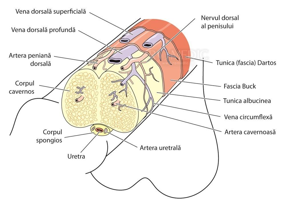 structura masculina a penisului