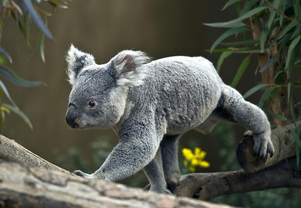 despărțit penis marsupial