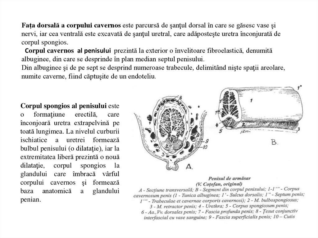 structura și tipurile de penis)