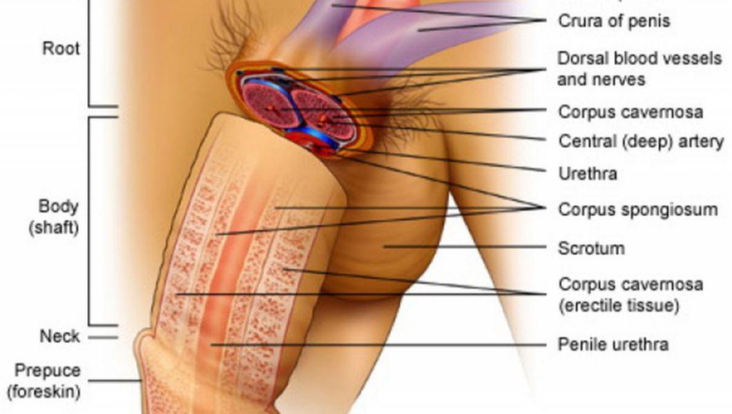 organele genitale la erecția bărbaților)