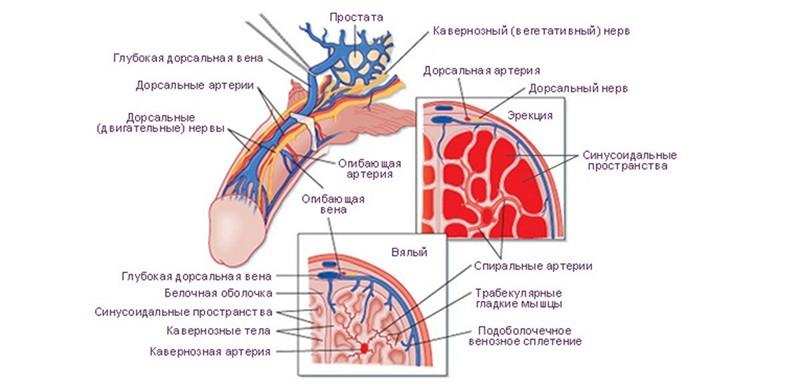 structura penisului în erecție