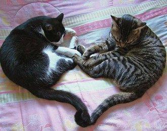 Pisică de casă - Wikipedia