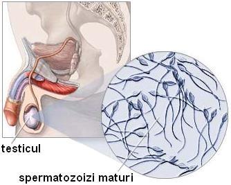cu amputație testiculară, fără erecție)