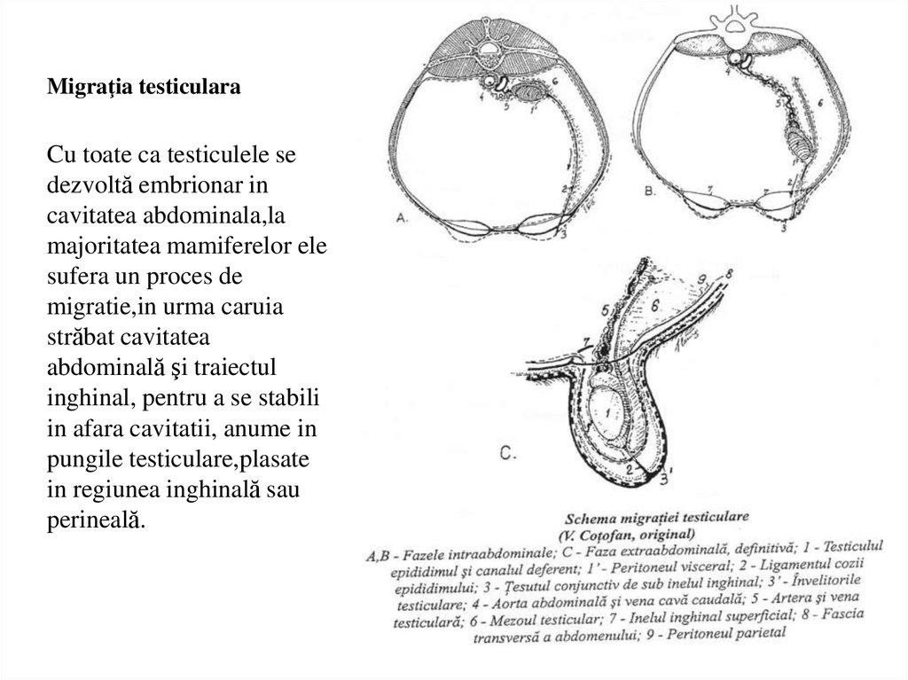 maturarea penisului)