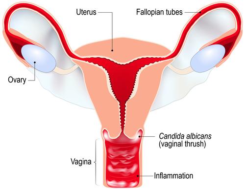 partea intimă a penisului