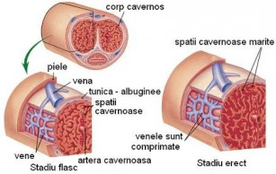 erectia organelor genitale masculine dermatolog penis