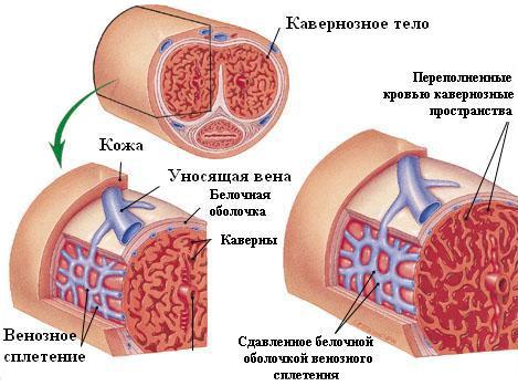 erecție umană