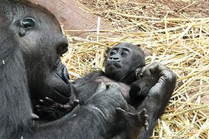 lungimea penisului gorilă)
