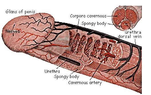 STUDIU: Lungimea medie a unui penis uman în erecţie, 13,1 centimetri, stabilită ştiinţific