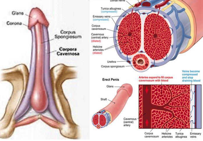 penis masculin atunci când este excitat penis sexy masculin