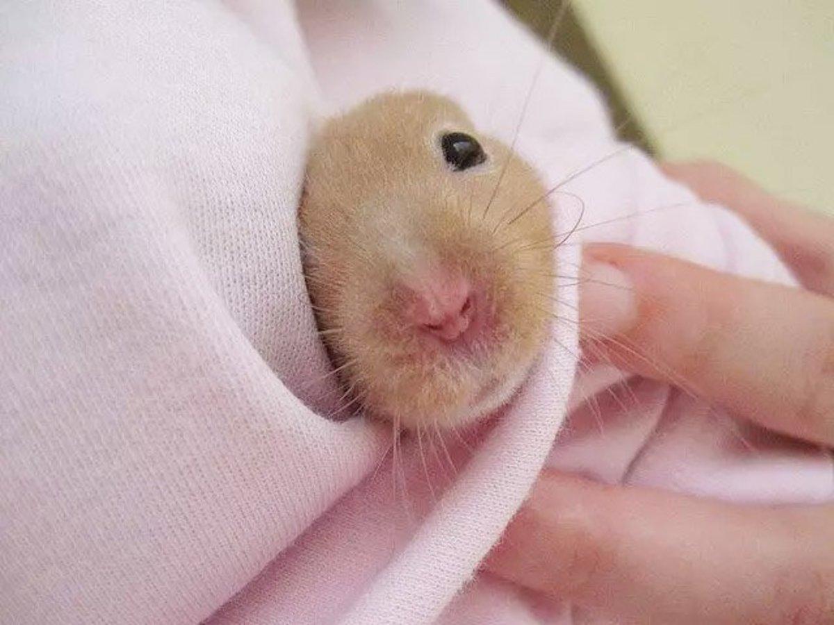 penisuri de hamster)