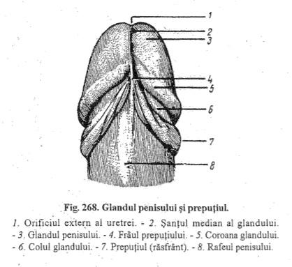 dimensiunea și structura penisului