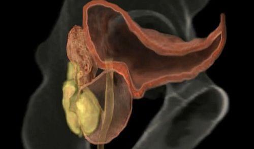 erecție și urinare)