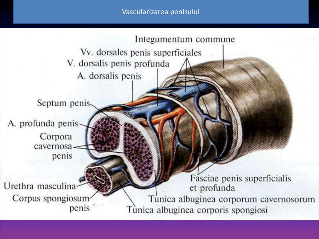 maturarea penisului dacă există dorință, dar nu există erecție