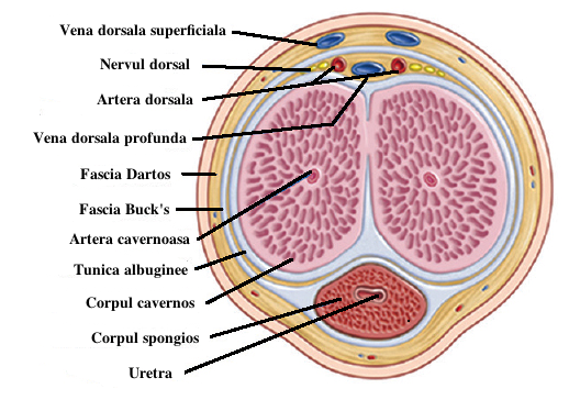 Venă dorsală profundă a penisului - Wikipedia
