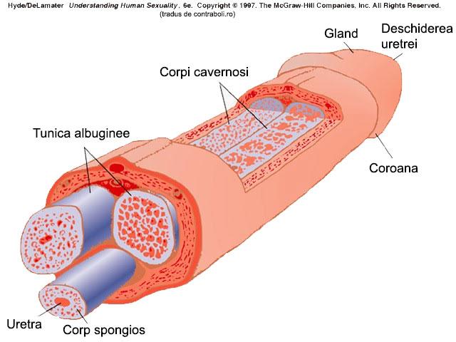 Sigiliul pe penis: cauze, posibile boli și tratament - Inima atac November