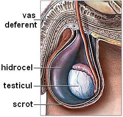 cu amputație testiculară, fără erecție erecție de la o femeie