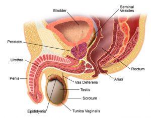 cu o prostată mărită, o erecție