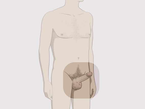 erecția penisului și a testiculelor
