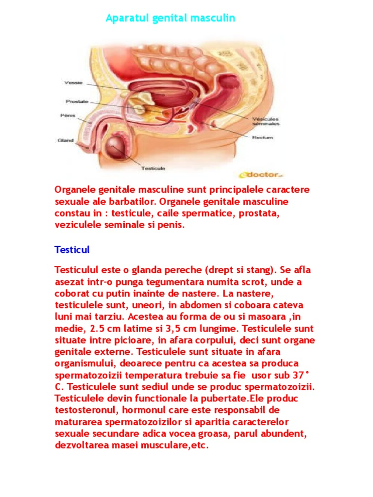 erectia organelor genitale masculine