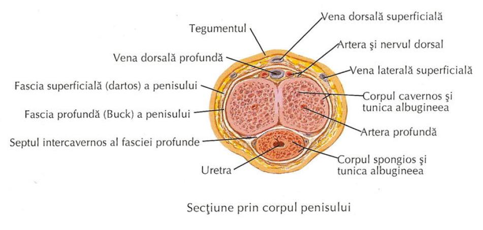 suprafața dorsală a penisului