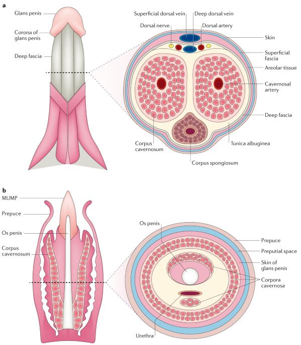 corp cavernos în penis