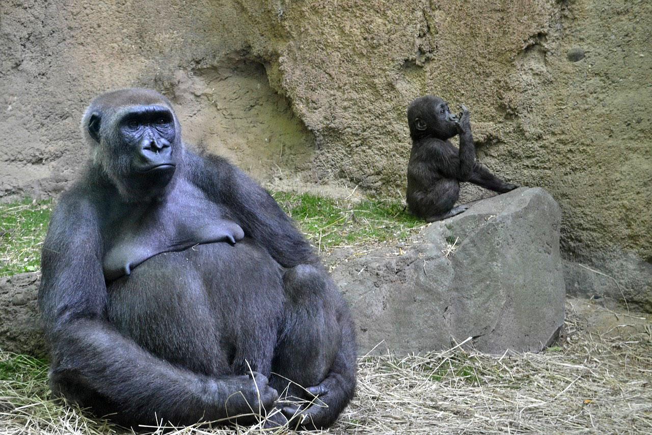 lungimea penisului gorilă