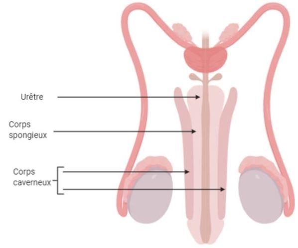 penis masculin ce este el rețete cum să consolidați o erecție
