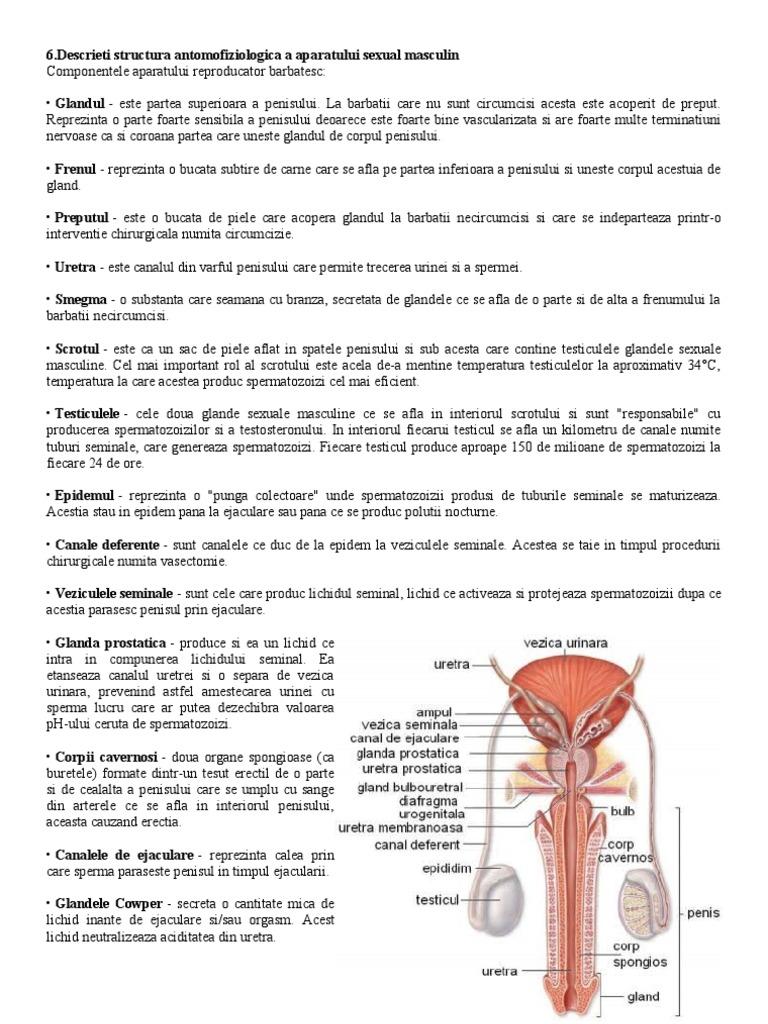penisului și structura acestuia)