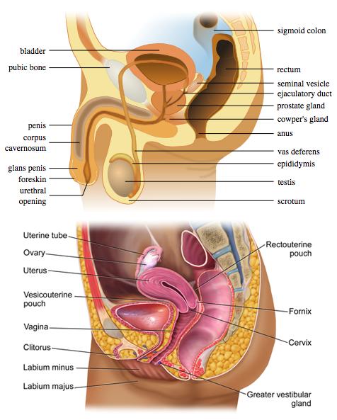 organe genitale feminine masculine penis