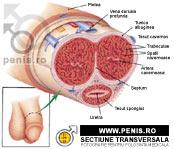 dimensiunea și structura penisului)