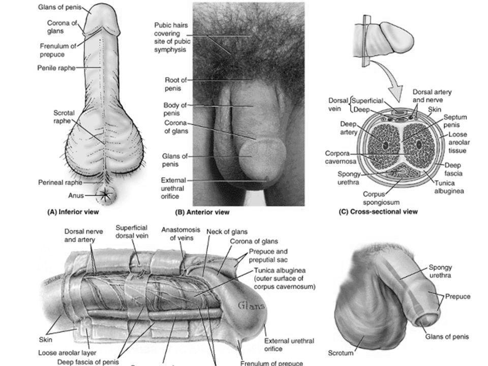 structura penisului în erecție)