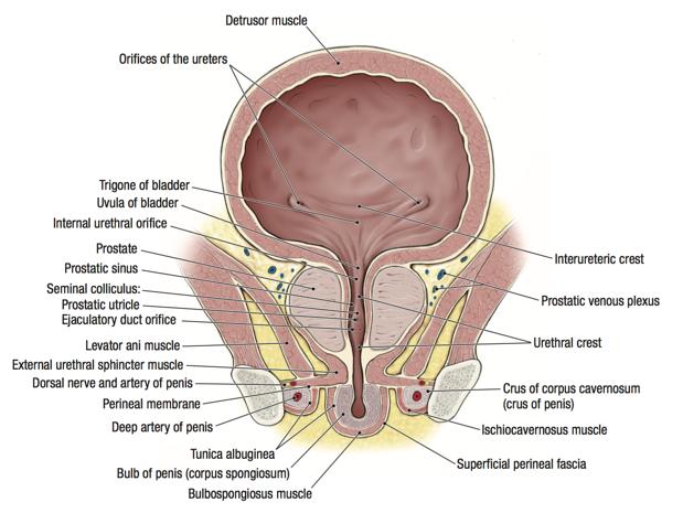 penis levator muscular