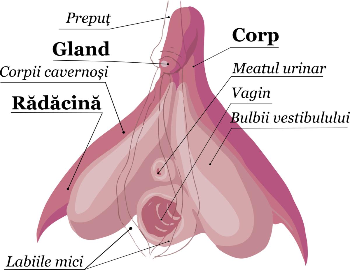 organul genital masculin în timpul erecției