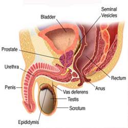prostatita simptome erectie proasta)