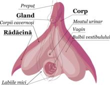 susan și erecție
